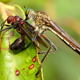 Got you by Stuart Gray - Novices Only Macro ( macro, death, south africa, preditor, attack, insect, robber fly )