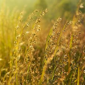 glow by Nivedita Chirantan - Nature Up Close Leaves & Grasses ( dream, grass, backlight, illusion, sunlight )
