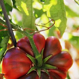a pretty heirloom tomato in my garden by Nickoleta Antonopoulos Nguyen - Food & Drink Fruits & Vegetables ( heirloom tomato, red, tomato, green, flower shape, flower )