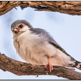 Awaiting prey by Wessel Badenhorst - Animals Birds