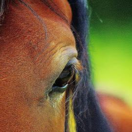 Eye, eye by Catherine Davies - Animals Horses ( orange, green, horse, pretty, eyes, animal,  )