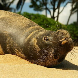 Monk Seal  by Rick Stafford - Animals Sea Creatures