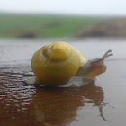 Yellow Grove Snail