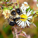 Common Eastern Bumblebee