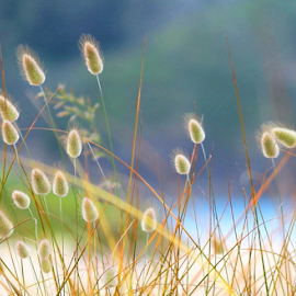bunnytail3 by Aaron Stephenson - Nature Up Close Leaves & Grasses ( grass, scenic, beach )
