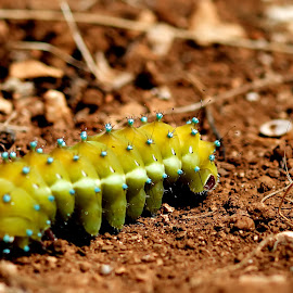 big green caterpillar by Darko Kovac - Animals Other