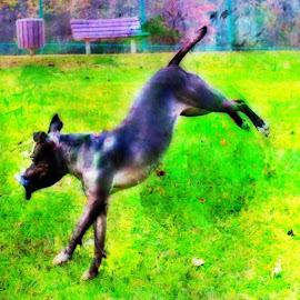 disc dog by Cassandra Nolan - Animals - Dogs Playing ( fetch, frisbydog, discdog, pet, play )