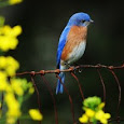 Robin & Bluebirds of the Atlanta Region