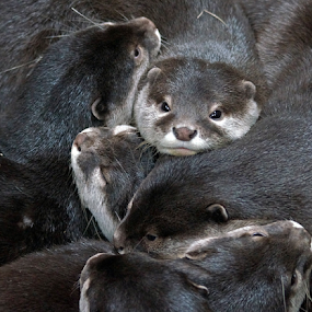 Otter Pile by Gary Amendola - Animals Other Mammals ( otter, cute,  )