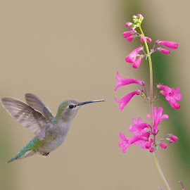 Pollen on Beek by Dean Mayo - Animals Birds ( bird, pollen, nature, hummingbird, flower )