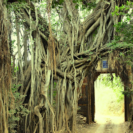 Old Banyan Tree by Gagan Sharma - Nature Up Close Trees & Bushes ( old, forest, banyan tree )