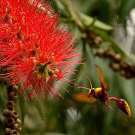 BUSY BEE by Abinav Shankar - Animals Insects & Spiders ( flying, yellow bee, fly, bee, flowerpecker )