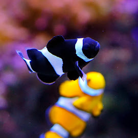 Fish by Jose Matutina - Animals Fish ( color, scales, fish, aquarium, sea, yellow )