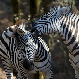 Om nom nom Zebra by Wade Tregaskis - Animals Other Mammals ( playing, biting, bite, play, zebra, juvenile, young )