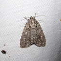 Acronicta sp.