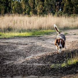 The Basset by Dominique Munro - Animals - Dogs Running ( puppies, basset, landscape, dog, running )