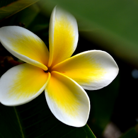 Single White Frangipani 4 by Mark Zouroudis - Flowers Tree Blossoms