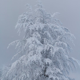 Under siege  by Cristi Rus - Nature Up Close Trees & Bushes ( winter, tree, snow, white, landscape )