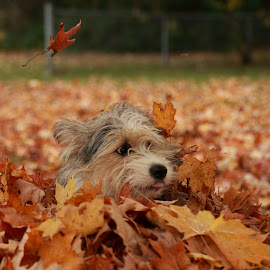 The Leaves  by Jacqui Sjonger - Animals - Dogs Portraits ( pet portrait, dog park, pet photography, nature, autumn, fall, dog portrait, dog playing, leaves, dog, mutt )