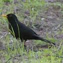 Blackbird; Mirlo Común