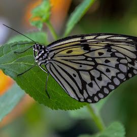 butterfly by Patrick Mous - Novices Only Wildlife ( butterfly, mooi, butterflies, dutch, vlinder )