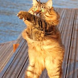 Swoosh! by Mia Ikonen - Animals - Cats Playing ( upright, fling, kurilian bobtail, funny )