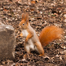 Body builder squirrel by Ivány Richárd - Animals Other Mammals
