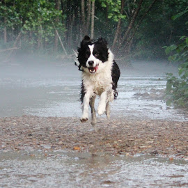 by Kimberly Dean - Animals - Dogs Running (  )