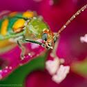 Curcubit beetle