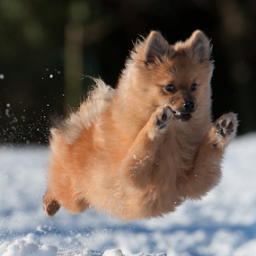 yahoo  by Michael  M Sweeney - Animals - Dogs Puppies ( olympic, expression, face, photograph, dogs, jumping, ground, michael m sweeney, beauty, run, cute, pretty, running, playing, flying, gorgeous, pets, snow, pomerainan, nikon, motion, animal, moving, colors, luck, beautiful, play, scottish, fun, photo, jump, joyful, flight, winter, strong, pro, puppy, low, dog, pomeranian )
