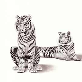 Duce by Paul Murray - Drawing All Drawing ( pencil, b&w, nature, tiger, wildlife, drawing )