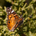 American Painted Lady, Hunter's butterfly
