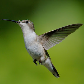 Nectar On The Head by Roy Walter - Animals Birds ( flight, wild, nature, wings, hummingbird, feathers, birds, animal,  )