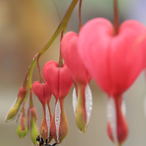 bleeding heart by Brian Kirby - Flowers Flower Gardens ( red, nature, harlaquin, bloom, ladybug, insect, bleeding heart, close up, beetle, flower )