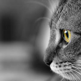 Tibby by Mark Dargan - Animals - Cats Portraits ( cats, cat, tabby cat, feline, felines, tabby )