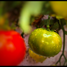 One Green Tomato by Becky McGuire - Food & Drink Fruits & Vegetables ( havasu, mcguire, nature, tomato, tvlgoddess, green, kitchen, salsa, veggie, vegetable, garden, becky,  )