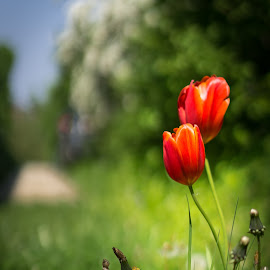 Spring is coming by Stephan Holzgruber - Novices Only Flowers & Plants ( red, green, tulip, spring, garden, flower )