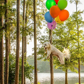 Up, Up and Away by Michele Dan - Animals - Dogs Playing ( levitation, dog portrait, dog playing, balloons, dog )