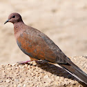 Laughing Dove / Palm Dove