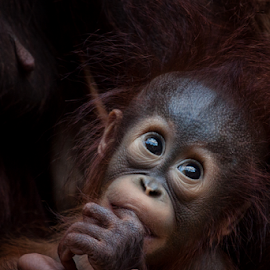 Without words by Michael Milfeit - Animals Other Mammals ( orang-utan, menschenaffe, pongo, primat,  )