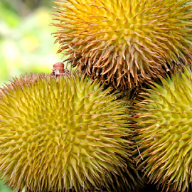 Durian by Yusop Sulaiman - Nature Up Close Gardens & Produce