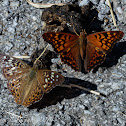 Hackberry emperor and tawny emperor (mud puddling)
