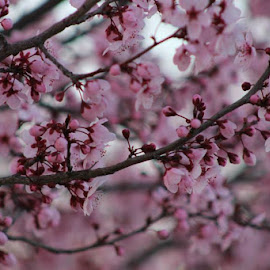 Cherry Blossoms by Kathryn Severson - Nature Up Close Trees & Bushes