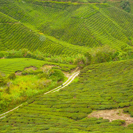 greeny tea farm by Yasser Abusen - Landscapes Mountains & Hills ( green, trees, forest, tea, landscape )