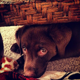 Chocolate lab  by Nicole Mize - Animals - Dogs Puppies ( those eyes, chocolate lab )