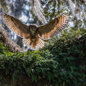 Great Horned Owl by Robert Strickland - Animals Birds ( studio, owl eyes, stare, yellow, feather, predator, nature, watching, horned, raptor, eye, wild animal, isolated, wild, attentive, alert, white, prey, one animal, portrait, mammal, virginianus, obedient, outdoors, owl, animal themes, cut out, natural, face, brown and white, side view, wildlife, bubo, looking, carnivore, nocturnal, looking at camera, closeup, animal, species, avian, creature, vertebrate, bird, hunter, great, beak, brown, square, standing,  )