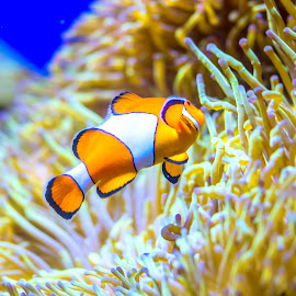 Finding Nemo! by Jijo George - Animals Fish ( two animals, marinelife, coral, underwater, fish, group of animals, wildlife, anemonefish, nemo museum, sea anemone, fish tank, sea life, nature, animals in the wild, no people, saltwater fish, clown fish, animal, indian ocean, water, swimming animal, school of fish, reef, scenics, pacific ocean, tropical fish, sea, seascape, beauty in nature, animal family, tropical climate, brightly lit, south pacific ocean, blue, horizontal, ocellaris, animal themes, false clown fish )