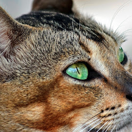 Hope by AbngFaisal Ami - Animals - Cats Portraits