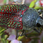 Stigmodera beetle