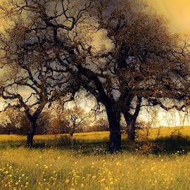 the mighty oak by Leslie Hunziker - Landscapes Prairies, Meadows & Fields ( mustard, oaks, nature, trees, fields,  )